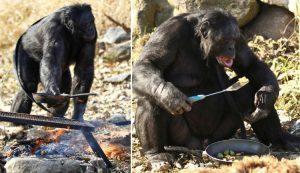 Kanzi, cimpanzeul de 35 de ani care stie 3000 de cuvinte, Charmy