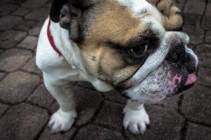 Rasa de caine Bulldog american