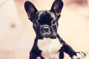 Rasa de caine Bulldog francez