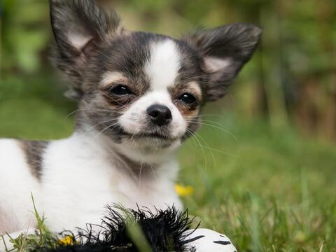 Rasa de caine Chihuahua