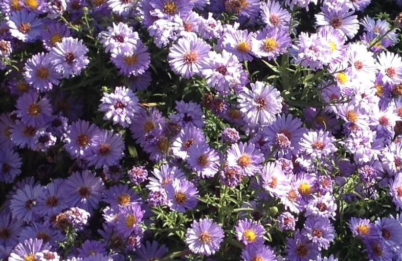 Flori de toamna: cele mai frumoase 15 flori 3
