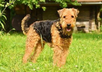 Rasa de caine Airedale Terrier