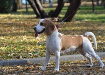 Rasa de caine Beagle