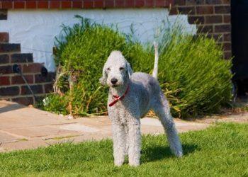 Rasa de caine Bedlington Terrier