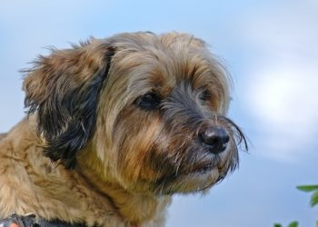 Rasa de caine Border Terrier