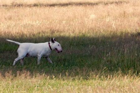 Rasa de caine Bull Terrier