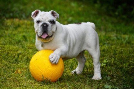 Rasa de caine Bulldog englez