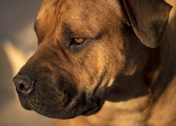 Rasa de caine Bullmastiff