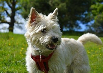 Rasa de caine Cairn terrier