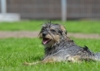 Rasa de caine Cesky Terrier