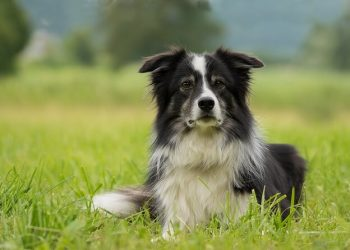 Rasa de caine Collie