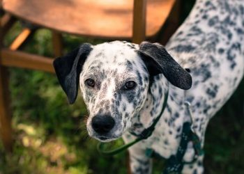 Rasa de caine Dalmatian
