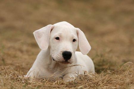 Rasa de caine Dog argentinian