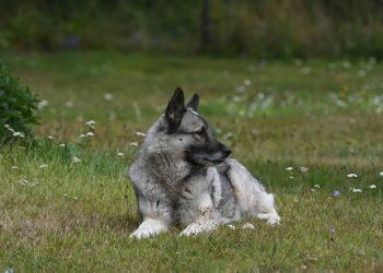 Rasa de caine Elkhound norvegian