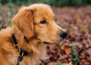 Rasa de caine Golden Retriever