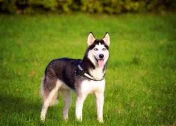 Rasa de caine Husky Siberian