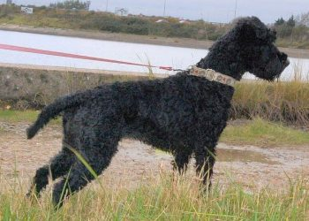 Rasa de caine Kerry Blue Terrier