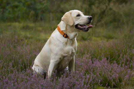 Rasa de caine Labrador Retriever