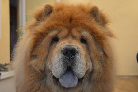 Rasa de caine Mastiff tibetan