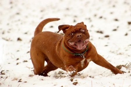 Rasa de caine Mastiff