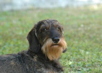 Rasa de caine Otterhound