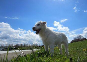 Rasa de caine Parson Russell Terrier
