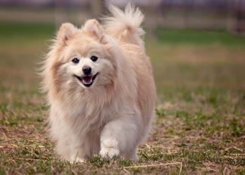 Rasa de caine Pomeranian