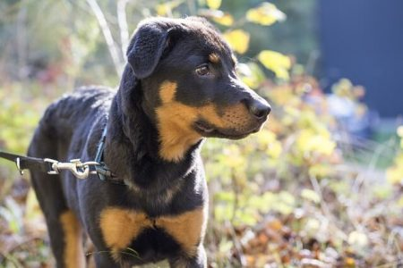 Rasa de caine Rottweiler