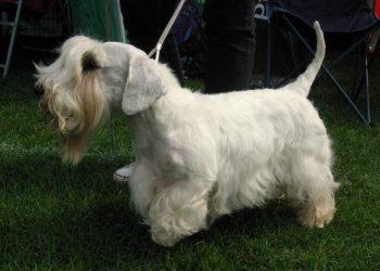 Rasa de caine Sealyham Terrier