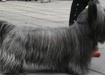 Rasa de caine Skye Terrier