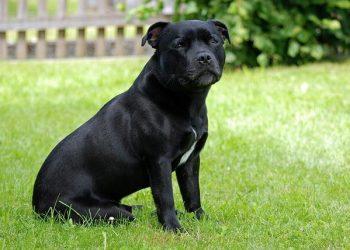 Rasa de caine Staffordshire Bull Terrier