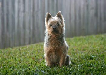 Rasa de caine Terrier australian