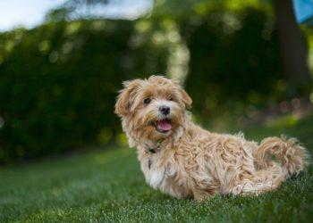 Rasa de caine Terrier de Norfolk