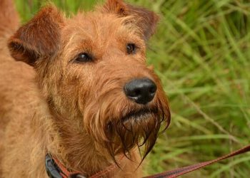Rasa de caine Terrier irlandez