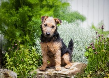 Rasa de caine Welsh Terrier