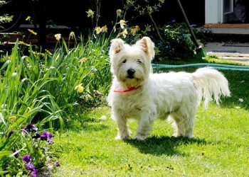 Rasa de caine West highland White Terrier