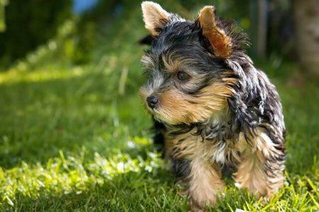 Rasa de caine Yorkshire Terrier